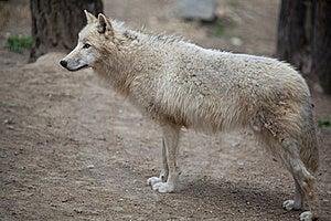 北极狼 库存图片 - 图片: 19785804