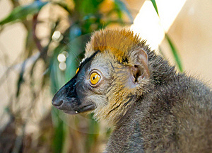 Lemur Royalty Free Stock Images - Image: 19789389