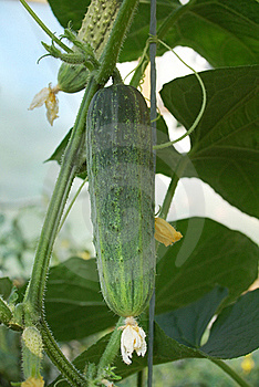 Bright Green Cucumber Royalty Free Stock Photography - Image: 19789617