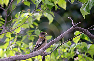 Female Grosbeak Royalty Free Stock Photography - Image: 19793357