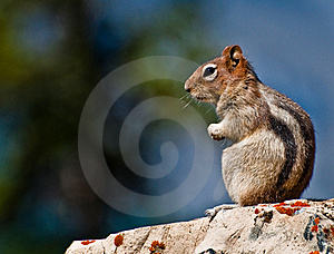 Golden Mantled Ground Squirrel Sitting Royalty Free Stock Photography - Image: 19795237
