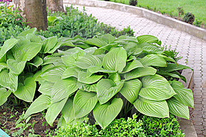 Hosta.Funkia. Royalty Free Stock Photos - Image: 19796848