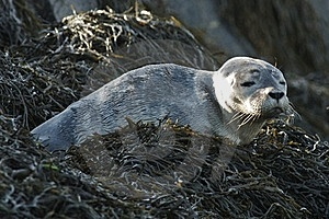 Harbor Seal Pup Royalty Free Stock Photography - Image: 19797087
