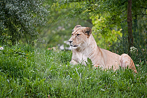 Sitting Lioness Stock Photos - Image: 19799033