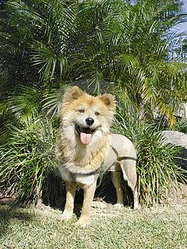 Lion Like Dog 2 Stock Image - Image: 1982661