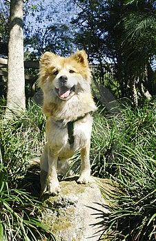 LIon Like Dog 3 Royalty Free Stock Photos - Image: 1982668