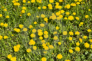 Dandelions On A Meadow Stock Photo - Image: 19800010