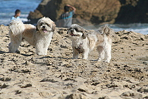 Dogs On Beach Stock Photo - Image: 19800840