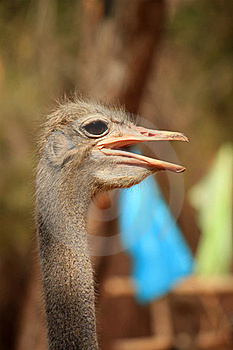 Ostrich Royalty Free Stock Photography - Image: 19802277