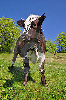 Cow Son A Summer Pasture Royalty Free Stock Images - Image: 19807749