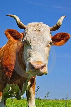 Cow Son A Summer Pasture Stock Photos - Image: 19807753