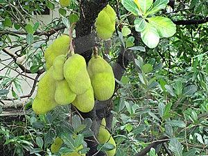 Jackfruit Royalty Free Stock Photography - Image: 19821207
