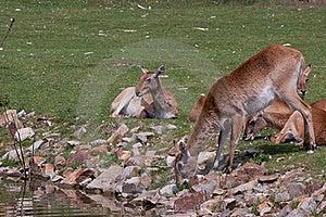 Antelopes Royalty Free Stock Photo - Image: 19827345