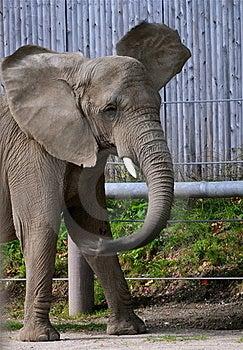 Elephant Royalty Free Stock Photo - Image: 19830455