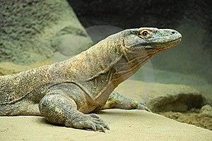 Komodo Dragon 5 Stock Images - Image: 19836204