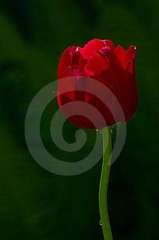 Tulip 2 Royalty Free Stock Image - Image: 19838396