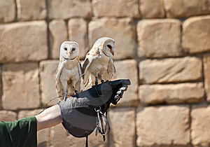 Barn Owl (Tyto Alba) Royalty Free Stock Images - Image: 19841309