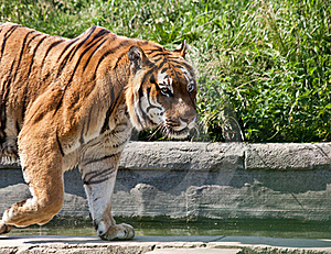 Walking Tiger (Panthera Tigris) Stock Photo - Image: 19841490