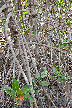 Mangrove Forest . Stock Photography - Image: 19842382