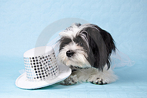 Shih Tzu Stock Photo - Image: 19848890