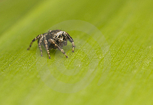 Jump Spider - Evarcha Royalty Free Stock Image - Image: 19850476