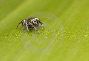 Jump Spider - Evarcha Royalty Free Stock Image - Image: 19850476