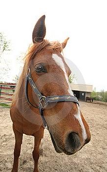 Arabian Horse Royalty Free Stock Photo - Image: 19851825