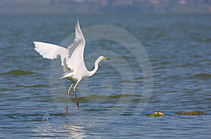 Great Egret Flying Royalty Free Stock Photo - Image: 19853675