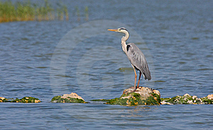 Grey Heron Resting Royalty Free Stock Photos - Image: 19853678