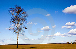 One Birch Royalty Free Stock Image - Image: 19856206