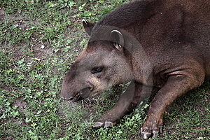 Lowland Tapir Stock Photos - Image: 19869333