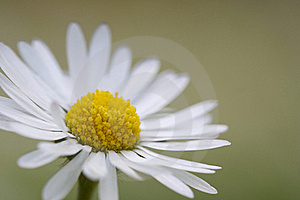 Bellis Perennis Royalty Free Stock Photography - Image: 19870687