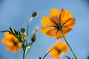 Yellow Cosmos Flowers Against Blue Sky. Royalty Free Stock Images - Image: 19870759