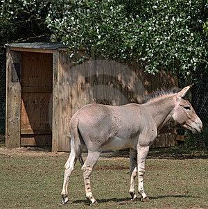 Somali Wild Ass 3 Royalty Free Stock Photography - Image: 19871827