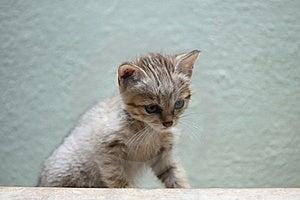 Gordon´s Wildcat Stock Images - Image: 19871934