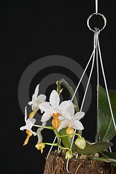 Orchid Phalaenopsis Hybrid Over Black Royalty Free Stock Image - Image: 19873176