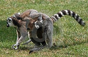 Ring-tailed Lemur 6 Royalty Free Stock Photos - Image: 19873188