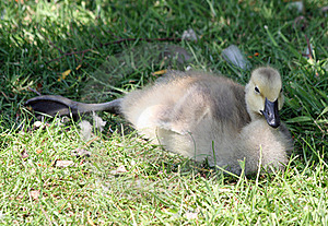 Canada Goose Gosling Royalty Free Stock Photo - Image: 19873725
