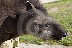 Tapir Royalty Free Stock Photos - Image: 19873838