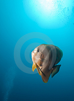 Teira Batfish Royalty Free Stock Photography - Image: 19874007