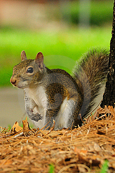 An Eastern Grey Squirrel Royalty Free Stock Photo - Image: 19879455