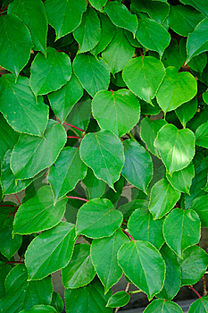 Green Actinidia Leaves Royalty Free Stock Images