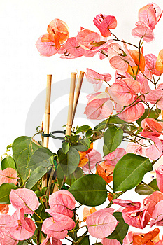 Bougainvillea Royalty Free Stock Photography - Image: 19882837