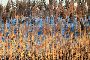 Reed In Frozen Lake Stock Photos - Image: 19885293