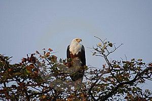 White Tailed Fish Eagle Stock Photography - Image: 19886202