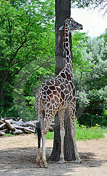 Tall giraffe and tall tree