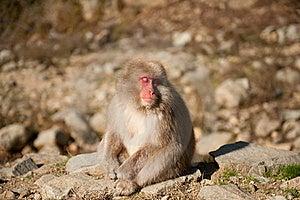Snow Monkey Royalty Free Stock Photography - Image: 19888887