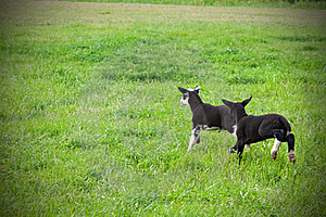 Lambs Stock Photo - Image: 19890570