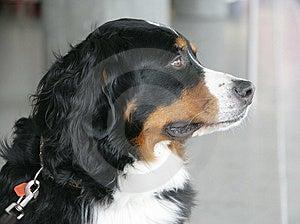 Nice Berner Dog 2 Stock Photography - Image: 1992722