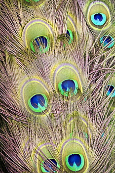 Peacock Fan Royalty Free Stock Image